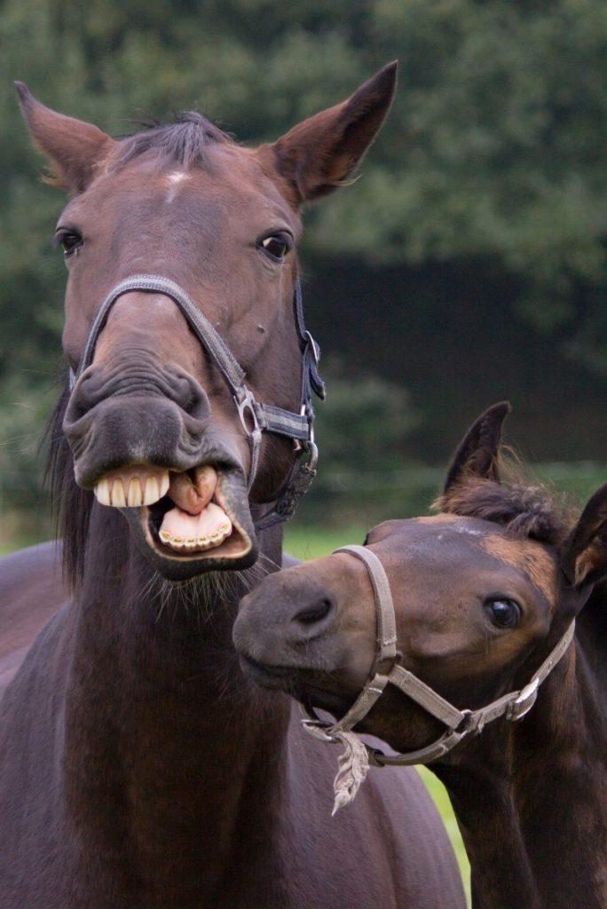 Eri-ikäiset hevoset tarvitsevat erilaista hammashoitoa